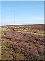 SE5496 : Flowering heather in upper valley of Parci Gill by Trevor Littlewood