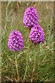 SY6970 : Pyramidal Orchid (Anacamptis pyramidalis) by Anne Burgess