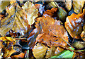 J4078 : Beech leaves, Glenlyon, Holywood (October 2014) by Albert Bridge