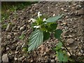NS3678 : Common Hemp-nettle by Lairich Rig