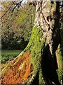SX8362 : Beech tree, Berry Pomeroy by Derek Harper