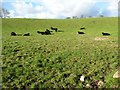 SH4743 : Black cattle in the low mid-day sun by Christine Johnstone