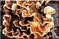 J4774 : Fungi, Kiltonga, Newtownards - December 2014(1) by Albert Bridge