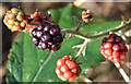J4774 : Blackberries, Kiltonga, Newtownards (December 2014) by Albert Bridge
