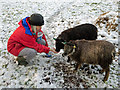 NH6454 : Feeding our Soay sheep : Week 49