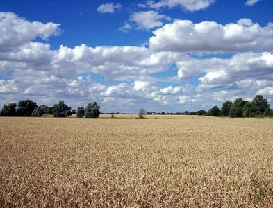 TF1021 : Awaiting the combine near Bourne, Lincolnshire by Rex Needle