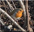TQ3095 : Robin (Erithacus rubecula) by Christine Matthews