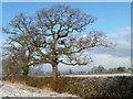 SJ4363 : Roadside winter tree, Sandy Lane by Christine Johnstone
