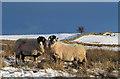 NY3830 : Sheep and snowed moorland near Eycott Hill : Week 3