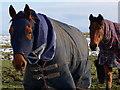 SK2068 : Ponies with rugs : Week 5