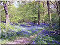 TF0916 : Bluebells in Dole Wood, near Bourne, Lincolnshire by Rex Needle