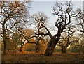 TQ1971 : High Wood, Richmond Park by Stefan Czapski