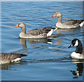 TG3715 : Greylag and Canada geese by Evelyn Simak