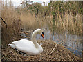 TR1334 : Nesting swan by Royal Military Canal by Oast House Archive