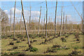 TQ6444 : Hop fields at Reeds Farm by Oast House Archive
