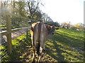 TQ2292 : Cow on Belmont Farm, Mill Hill by David Howard
