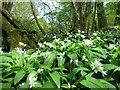 TQ6525 : Wild garlic on footpath to Woodknowle Farm : Week 18
