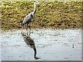 SD7808 : Grey Heron (Ardea cinerea) by David Dixon