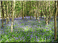 TM3499 : Bluebells in Sisland Carr by Evelyn Simak