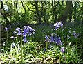 SK3499 : Bluebells in Bull Wood by Neil Theasby
