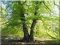 NH5757 : Beech tree in Drummondreach Oak Wood : Week 19