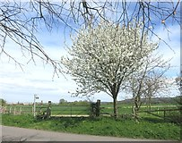 SP8106 : Blossom by the Aylesbury Ring by Des Blenkinsopp
