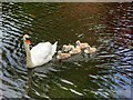 SD7807 : Swan Family at Radcliffe by David Dixon