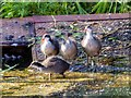 SD7807 : Young Coots, Manchester, Bolton and Bury Canal at Radcliffe by David Dixon
