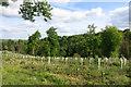 SU7688 : New Trees, Henleyhill Wood by Des Blenkinsopp