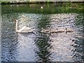 SD7807 : Single Parent Swan Family on Canal at Radcliffe by David Dixon