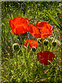SO8953 : Spetchley Park Gardens - poppies by Chris Allen