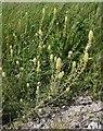 SU1950 : Chalk downland wildflowers, Haxton Down: Wild Mignonette by Stefan Czapski