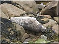 NZ3575 : Resting grey seal, St. Mary's island, near Whitley Bay, Northumberland by Derek Voller