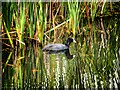 SD7807 : Coot on the Canal by David Dixon