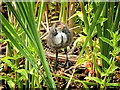 SD7807 : Immature Coot; Manchester, Bolton and Bury Canal by David Dixon
