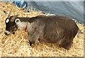 SJ7177 : Champion Goats 3 by Anthony O'Neil