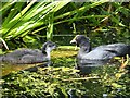 SD7807 : Two Coots (Fulica atra) on the Manchester, Bolton and Bury Canal by David Dixon