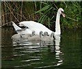 SX9686 : Swan and cygnets on The Exeter Canal : Week 26