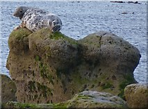 NU1344 : Seal sitting on the rocks by DS Pugh