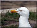 SV9010 : European Herring Gull : Week 27