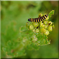 NT9659 : Cinnabar Moth (Tyria jacobaeae) Caterpillar by James T M Towill