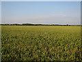 TL3549 : Wheat field by Hugh Venables