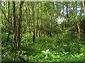 TQ2831 : New England Birches by Simon Carey