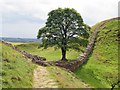 NY7667 : Hadrian's Wall at Sycamore Gap : Week 30