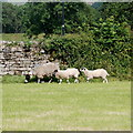 SE0498 : Swaledale eve with lambs by Bill Harrison