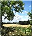 SE1491 : Cereals field west of Constable Burton by Gordon Hatton