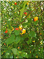TL0652 : Plums on the Bush in Mowsbury Park by Adrian Cable