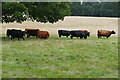 TQ0652 : Dexter cattle, Hatchlands Park by Alan Hunt