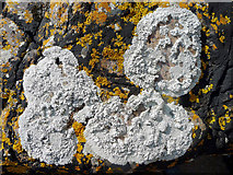 NH7661 : Lichens on the coastal rocks by Julian Paren