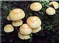 J4078 : Fungi, Glenlyon, Holywood - August 2015(2) by Albert Bridge
